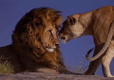 Mama lioness